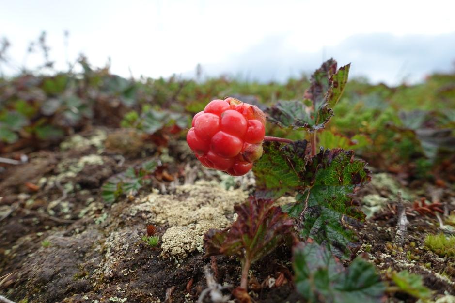 Multebær Ekkerøy 2017